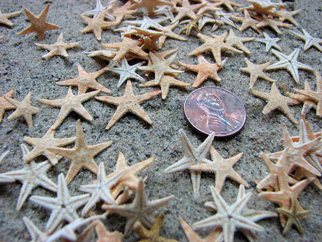 Beach Decor Tiny Starfish for Nautical Decor or Crafts - 24 pc Tiny, Brown, Flat, 1 inch
