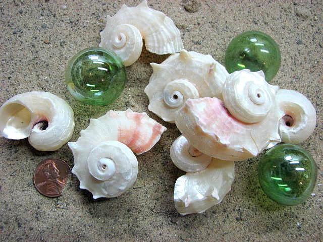Seashell Decor - Beach Wedding or Nautical Decor Delphinula Shells, 3pc White Pearl