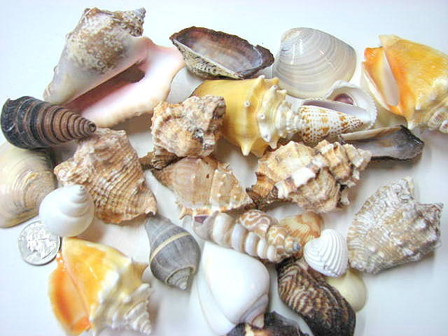 shells for decor 24 assorted lg seashells for crafts or
