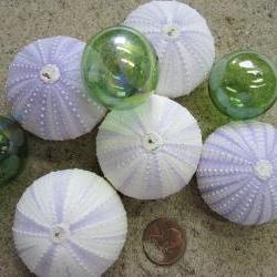 Nautical Decor Lavender Sea Urchin Shells - Beach Decor Purple Urchin - RARE - 1pc