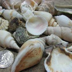 Seashell Mix for Beach Decor - Large Shell Mix for Jewelry, Nautical Decor or Crafts, 1.25 lbs