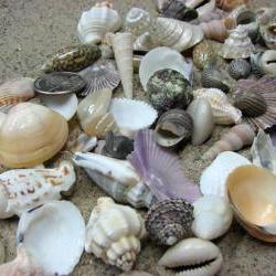 Beach Decor Seashell Mix - Medium Shell Mix for Jewelry, Nautical Decor or Crafts, 1.25 lbs